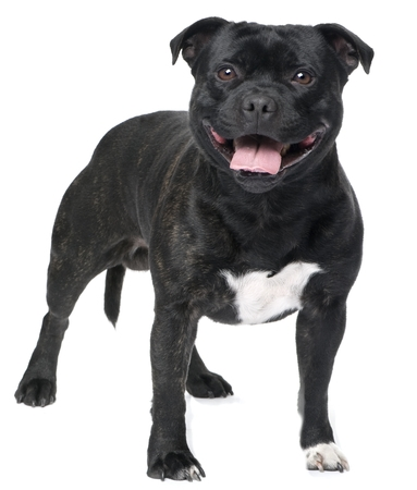 Staffordshire Bull Terrier Breed Profile