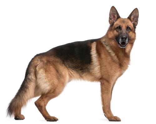 German Shepherd Breed Profile