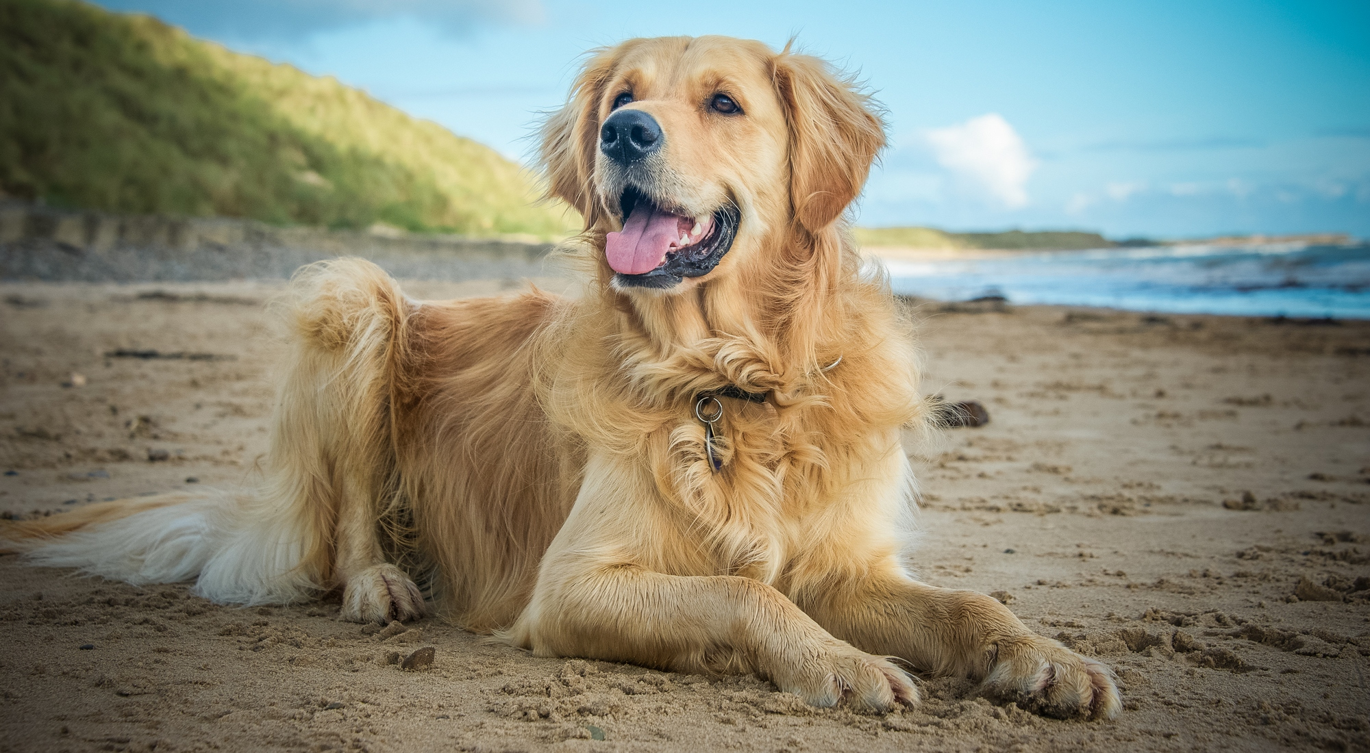 Golden Retriever Breed Information Photos History And Care Advice