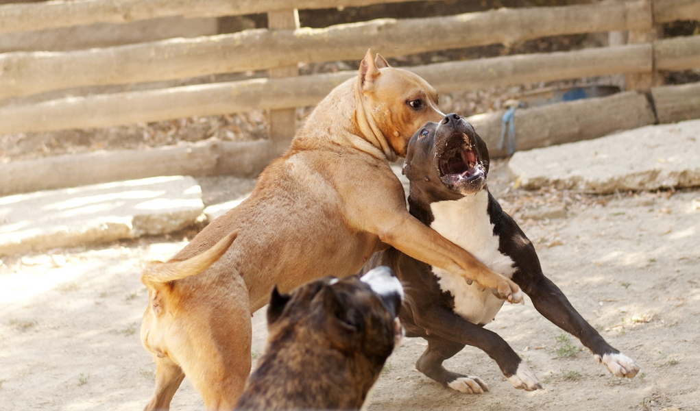 How Fighting Dogs Are Trained: The Grim Reality – Top Dog Tips