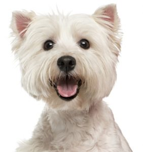 Maltese Are A Great Social Lap Dog. They Are Ideal For Apartment Dwellers  And Have Very Minimal Exercise Needs. If Youu0027re Looking For Lazy Dog Breeds  That ...