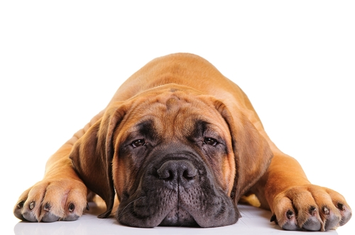 30 Most Lazy Dog Breeds Perfect For A Couch Potato Owner