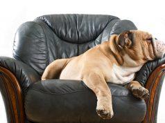 Lazy Dog Breeds