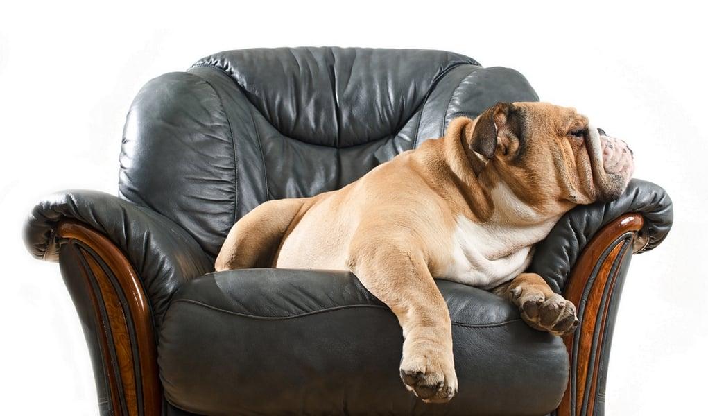 lazy dog breeds - photo #22
