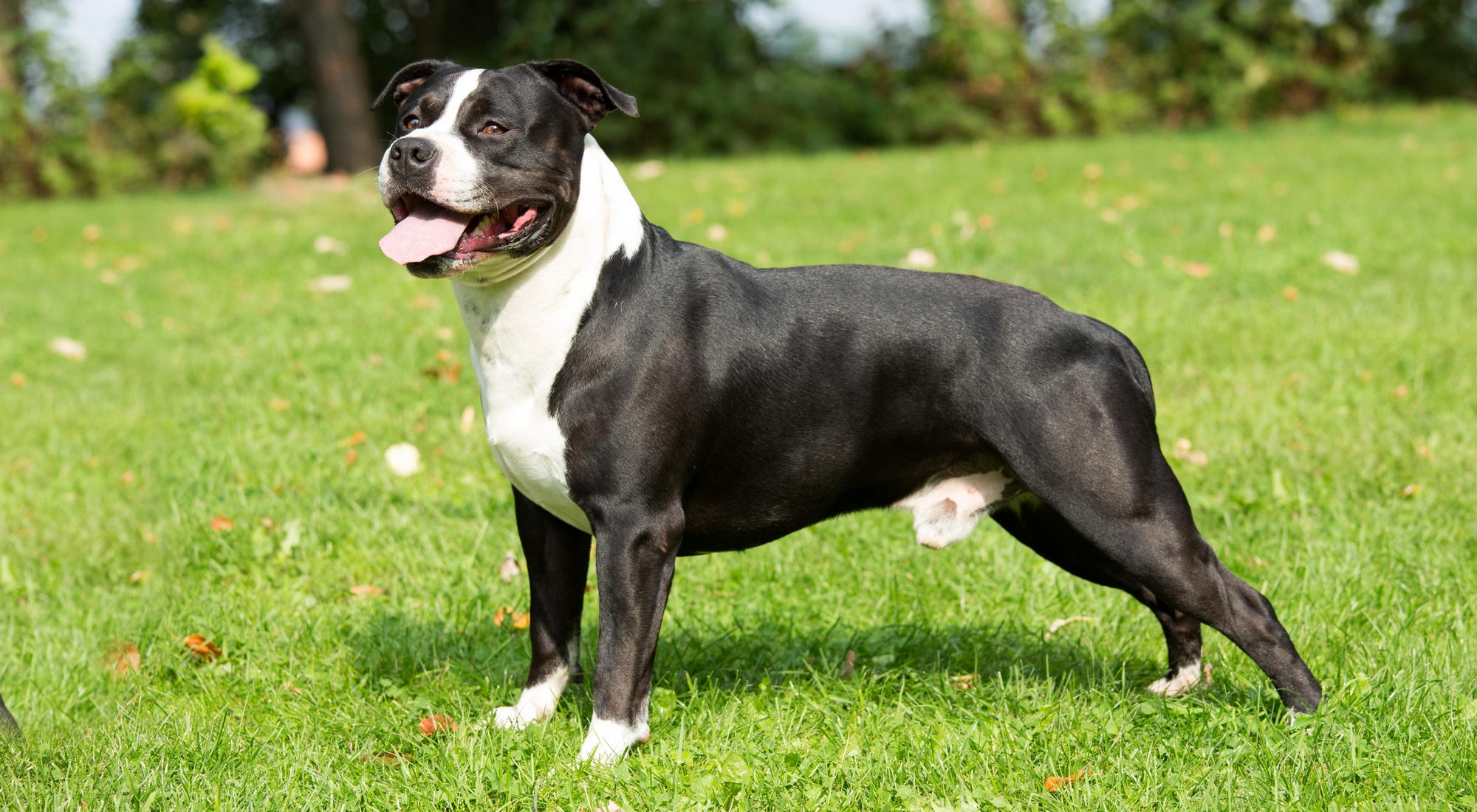 american staffordshire terrier - photo #15