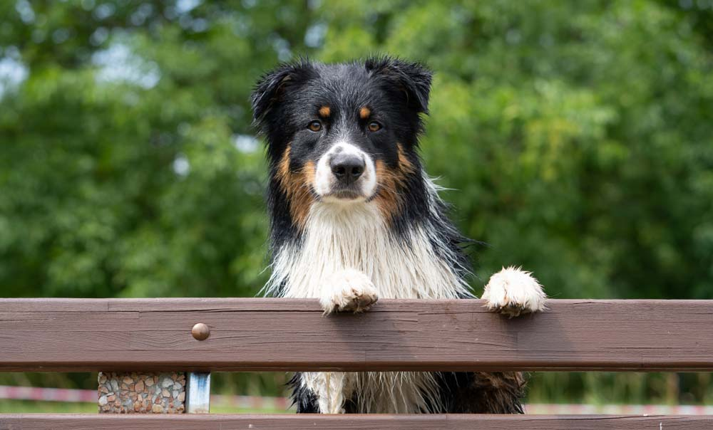Australian Shepherd guard dog