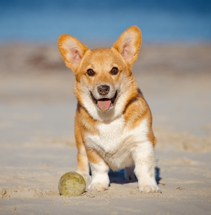 Energy and activity of Corgis