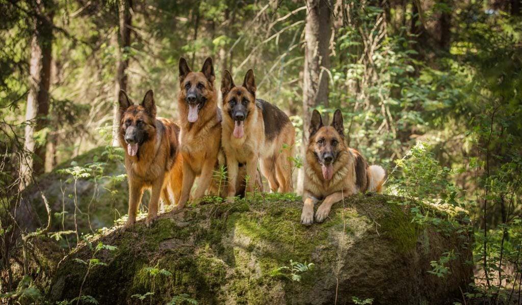 German Shepherd wolf dog breeds