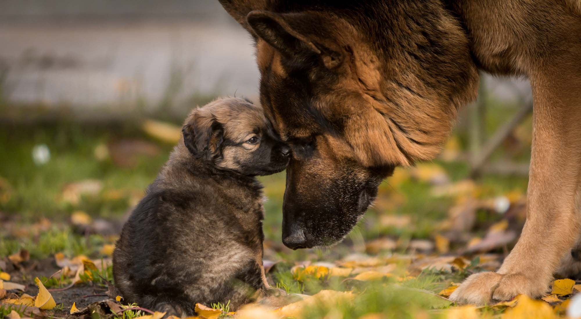 German Shepherd Dog Breed Information Photos History And