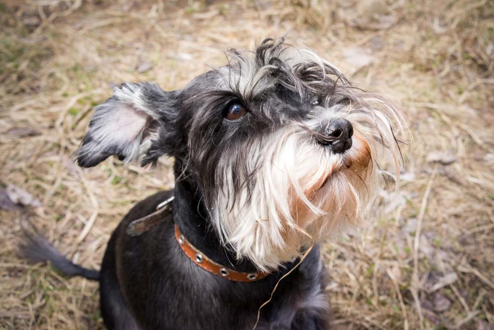 Schnauzer guard dog