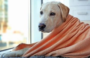 What is the Best Dog Towel for Dogs?