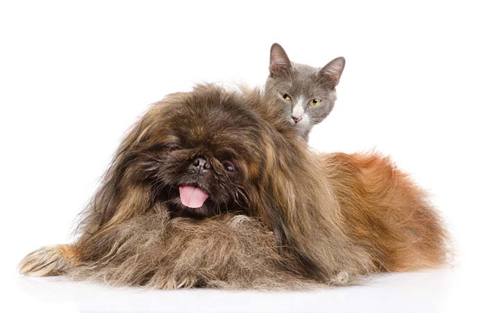 Pekingese friends with a cat