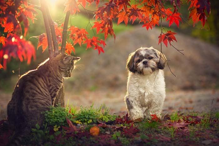 Shih Tzu has a date with a cat