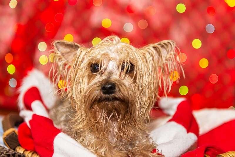 Dog took a bath on Christmas