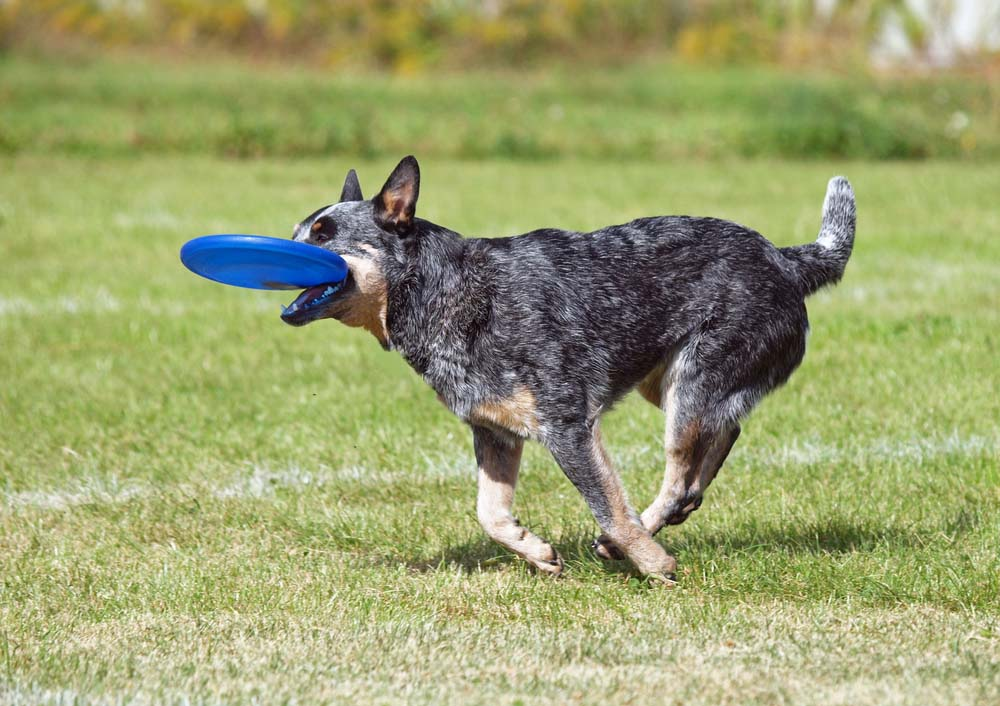Australian Cattle Dog smart dog breed
