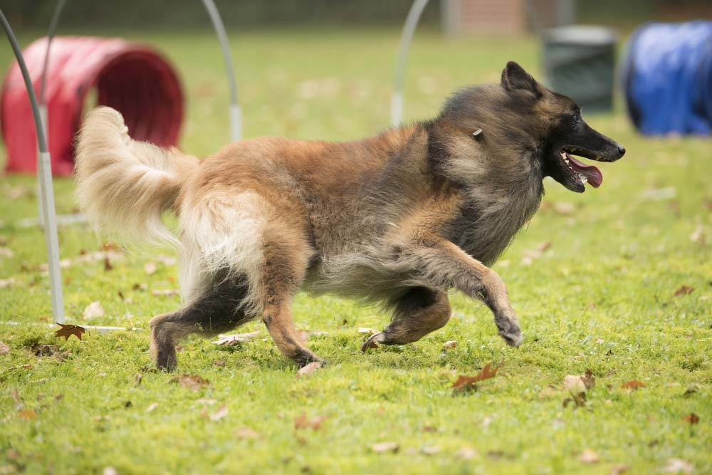 Belgian Tervuren smart dog breed