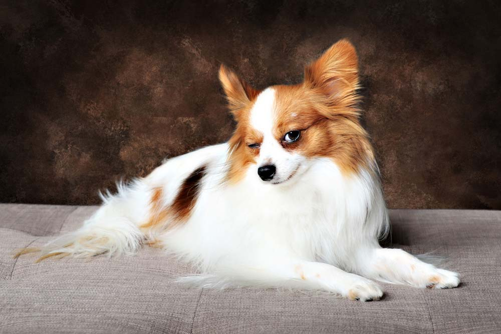 Papillon smart dog breed