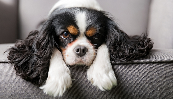 Most Affectionate Small Dog Breeds