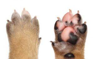 Dog paw closeup photo
