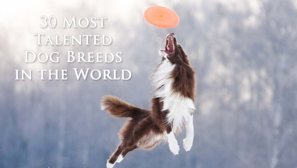 Most Talented Dog Breeds in the World