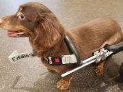 Dachshund Thrown Away In Trashbag with Broken Spine Gets Mini-Wheelchair