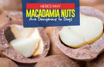 Can I give my dog macadamia nuts