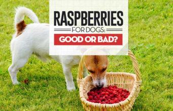 Can I give my dog raspberries