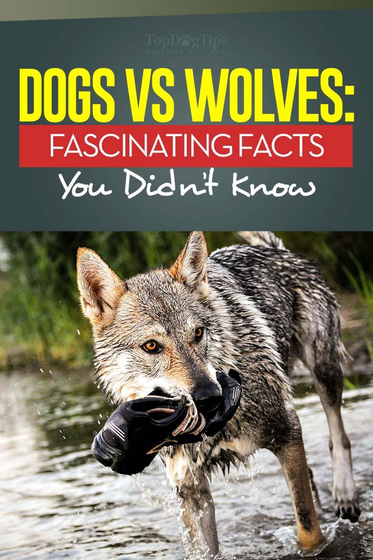 Wolves vs
