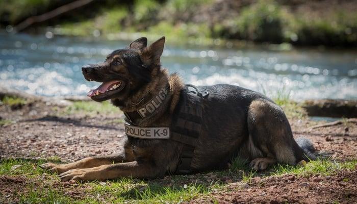 best dog breeds for police work