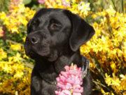 This Year's AKC Top Breed: Labrador Retriever