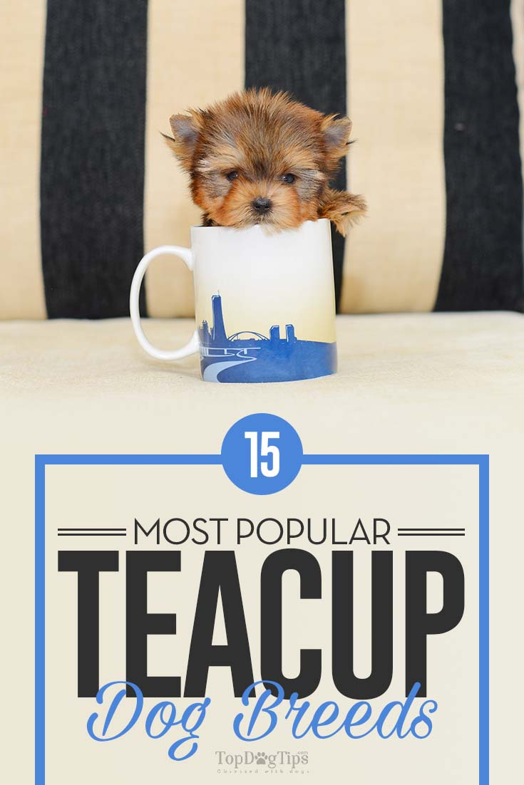 15 Best Teacup Dog Breeds And What You Must Know About Them