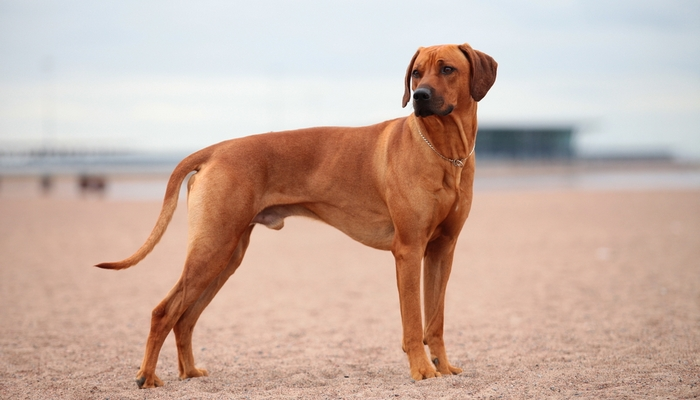 Rhodesian Ridgeback as the Best short hair dog breeds