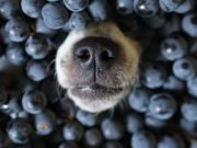 Blueberries for Dogs - Can Dogs Eat Blueberries