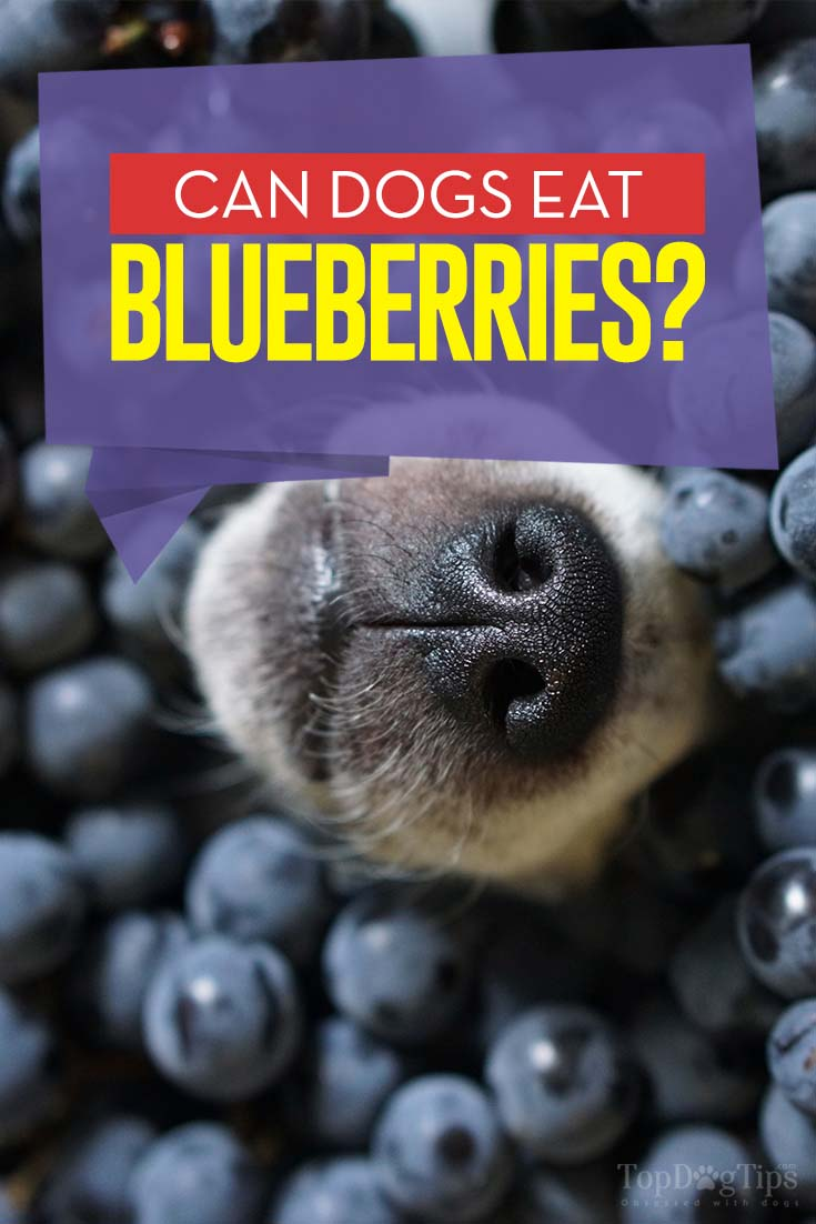 Can Dogs Eat Blueberries Side Effects And Benefits Based
