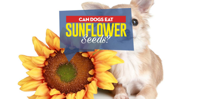 Can Dogs Eat Sunflower Seeds -5 Benefits and 3 Side Effects