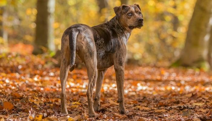 Catahoula Leopard Dog Breed Information