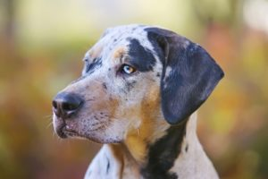 Catahoula Leopard Dog Breed Information