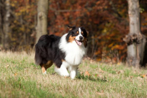 Australian Shepherd Dog Breed Lifespan