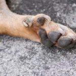 Dog dew claw