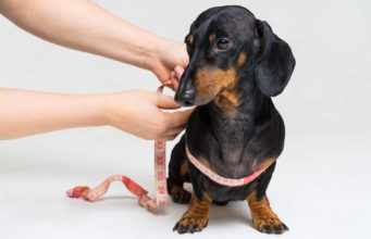 How to Measure a Dog for a Harness