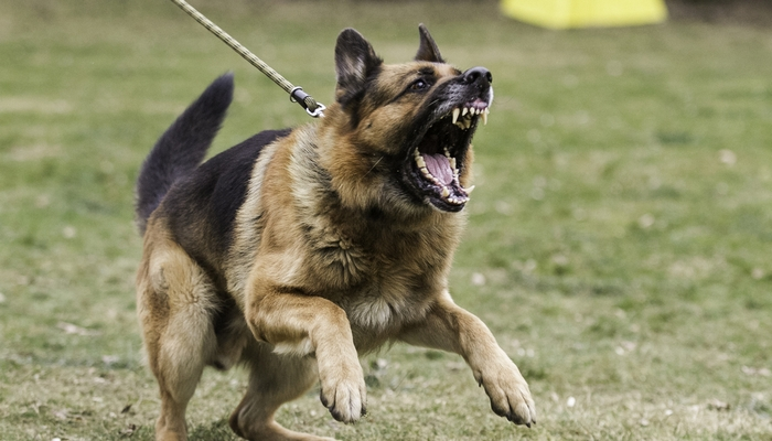 German Shepherd as one of the Most Dangerous Dogs