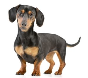 Dachshund as the Most Stubborn Dog Breeds