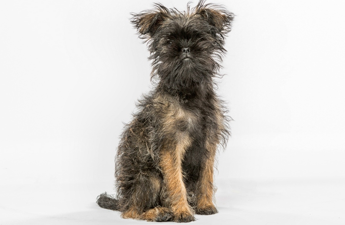 Affenpinscher as the best toy dog breeds