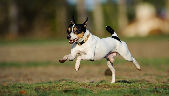 Toy Fox Terrier as the best toy dog breeds