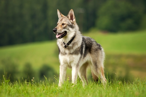 Wolfdog (Wolf-Dog Hybrid) as one of the most dangerous dogs