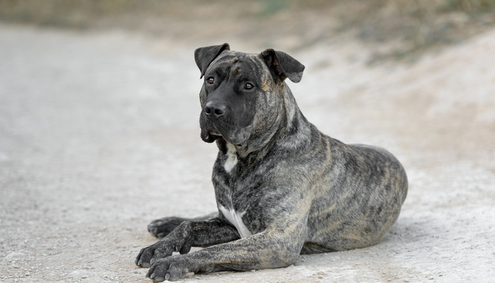 Perro de Presa Canario is one of the most dangerous dogs