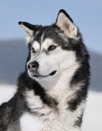 Alaskan Malamute is one of the most dangerous dogs