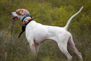 Common myths about the use of dog shock collars