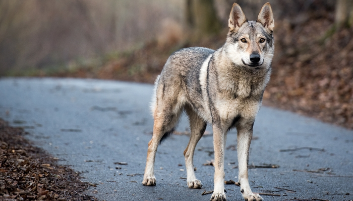 Wolf Hybrid as the most aggressive dog breeds