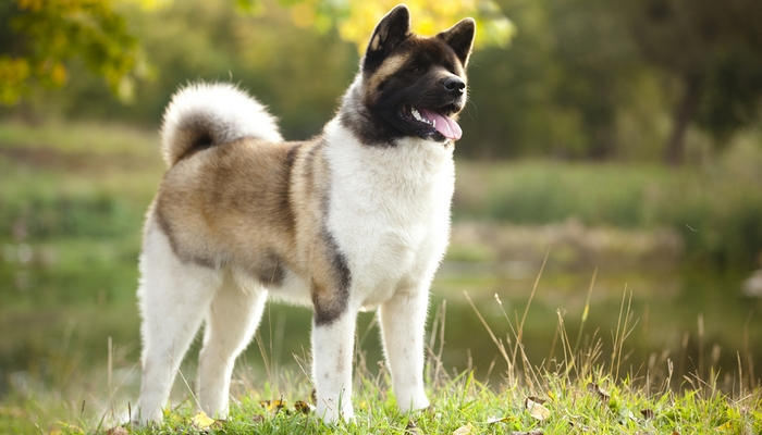 Akita Inu as the most aggressive dog breeds